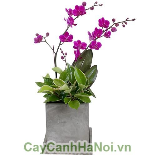 Chau-hoa-lan-ho-diep-2-canh (1)