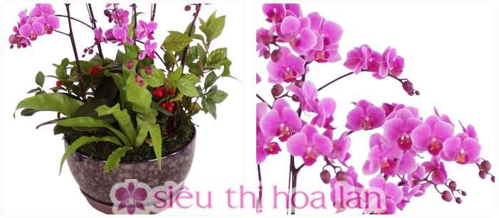 Chậu hoa lan hồ điệp hồng 5 cành