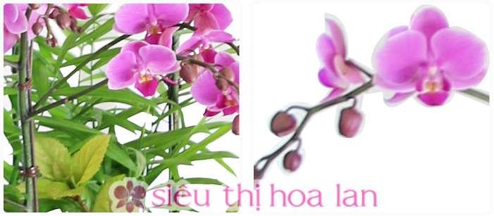Chậu hồ điệp hồng phong cách châu âu