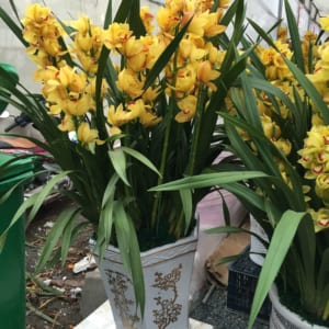 Chậu địa lan vàng chanh Thái Lan
