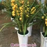 Chậu hoa địa lan Sapa đẹp