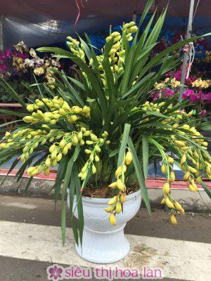 Chậu hoa địa lan Sato nhập khẩu