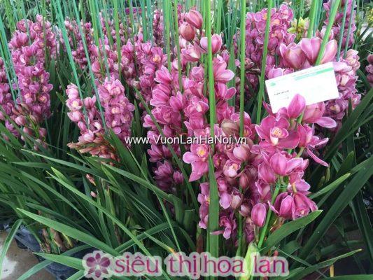 Chậu hoa địa lan Tết Đà Lạt
