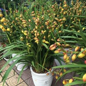 Chậu hoa địa lan Tết vàng chanh