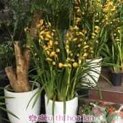 Chậu hoa địa lan Thái Lan vàng mít