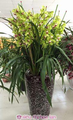Chậu hoa địa lan Thái lan xanh ngọc
