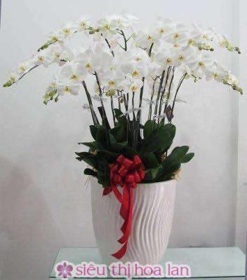 Chậu hoa lan hồ điệp trắng 13 cành