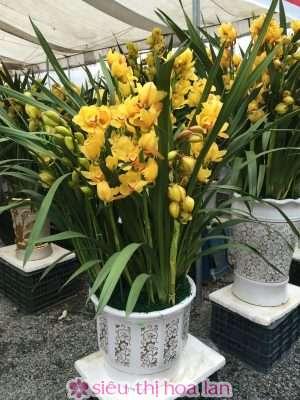 Hoa địa lan Tết vàng chanh