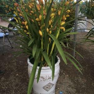 Hoa địa lan vàng chanh Đà Lạt