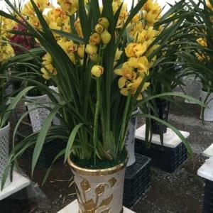Hoa địa lan vàng chanh Sapa