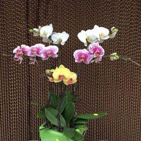 Hoa lan hồ điệp đa sắc - chậu 5 cành