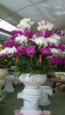 Hoa lan hồ điệp đẹp trưng ngày Tết