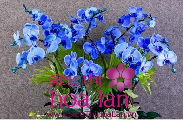 lan hồ điệp Lâm Đồng