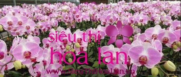lan hồ điệp màu hồng