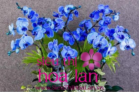 lan hồ điệp màu xanh