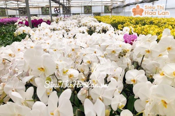 Vườn ươm hoa lan hồ điệp trắng